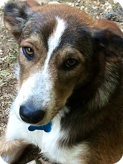 Collie/Shepherd (Unknown Type) Mix Dog for adoption in Hixson, Tennessee - Pippa
