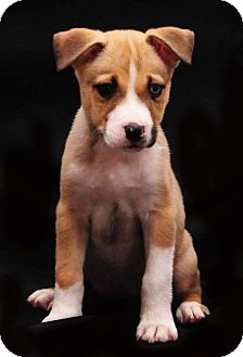 Husky Mix Puppy for adoption in Charlotte, North Carolina - Latte (Starbucks Litter)