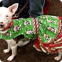 Adopt A Pet :: Ellie - Pending - Post Falls, ID