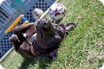 Labrador Retriever Mix Dog for adoption in Media, Pennsylvania - Coco