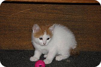 Domestic Shorthair Kitten for adoption in Hamilton., Ontario - julian