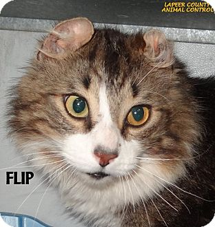 American Curl Cat for adoption in Lapeer, Michigan - FLIP--UNIQUE! FEE WAIVED