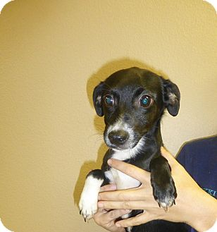 Beagle Mix Puppy for adoption in Oviedo, Florida - Marco