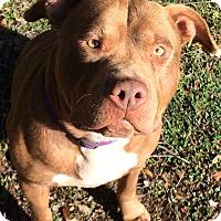 Adopt A Pet :: Chibby - Sacramento, CA