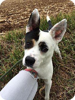 Australian Cattle Dog/Cattle Dog Mix Dog for adoption in Broadway, New Jersey - Bert