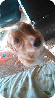 Welsh Corgi/Spaniel (Unknown Type) Mix Dog for adoption in Lomita, California - Corgi Spaniel Mix