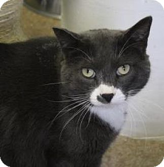 Domestic Shorthair Cat for adoption in West Des Moines, Iowa - Tom