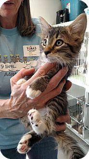Domestic Mediumhair Cat for adoption in Divide, Colorado - Ny