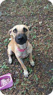 Black Mouth Cur/Labrador Retriever Mix Puppy for adoption in Fair Oaks Ranch, Texas - Ginger