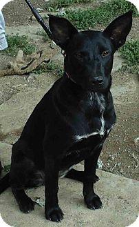 Shepherd (Unknown Type)/Labrador Retriever Mix Dog for adoption in Washington court House, Ohio - Cinders