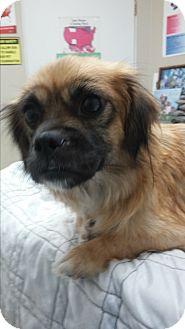 Pekingese Mix Dog for adoption in Grants Pass, Oregon - Kizzy