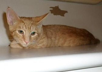 Domestic Shorthair Cat for adoption in Harrisburg, Pennsylvania - Woody (teenage male)