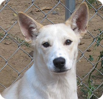 Labrador Retriever/Carolina Dog Mix Puppy for adoption in Allentown, Pennsylvania - Jackson