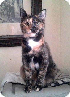 Domestic Shorthair Cat for adoption in Harrisonburg, Virginia - Scarlett