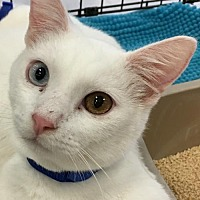 Oriental Kitten for adoption in Lakewood, California - GUS AND ANDY