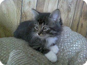 Maine Coon Kitten for adoption in Walnutport, Pennsylvania - Chase