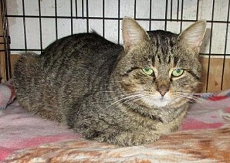 Domestic Shorthair Cat for adoption in detroit, Michigan - SUCH-A-JOY