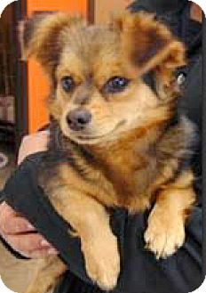 Cavalier King Charles Spaniel/Tibetan Spaniel Mix Dog for adoption in Boulder, Colorado - Arri-ADOPTION PENDING