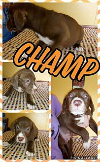 Labrador Retriever/Mixed Breed (Large) Mix Puppy for adoption in Sumter, South Carolina - Champ