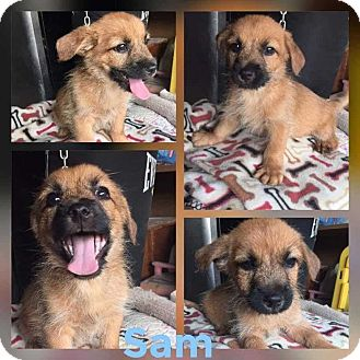 Terrier (Unknown Type, Small) Mix Puppy for adoption in Mesa, Arizona - SAM