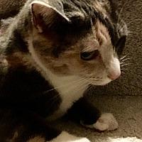 Calico Cat for adoption in Loveland, Ohio - Stella