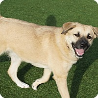 Adopt A Pet :: Faith - North Richland Hills, TX