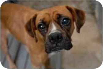 Boxer Mix Dog for adoption in Thomasville, Georgia - Suki