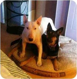 Bull Terrier Dog for adoption in Houston, Texas - Max