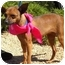 Photo 2 - Chihuahua/Miniature Pinscher Mix Dog for adoption in Palmdale, California - Bell