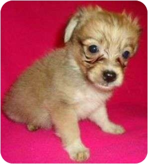 Chihuahua/Pomeranian Mix Puppy for adoption in Spring Valley, New York - Gage