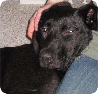 Labrador Retriever Mix Dog for adoption in Bellingham, Washington - Sylvia