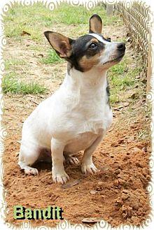 Rat Terrier/Dalmatian Mix Dog for adoption in Ozark, Alabama - Bandit