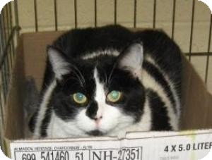 Domestic Shorthair Cat for adoption in Stillwater, Oklahoma - Delilah
