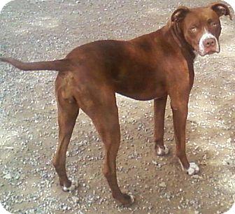 American Pit Bull Terrier Dog for adoption in Toledo, Ohio - Rosie