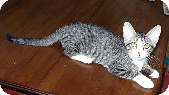 Domestic Shorthair Kitten for adoption in Bentonville, Arkansas - Bud