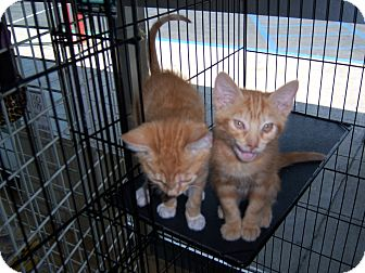 Domestic Shorthair Kitten for adoption in Whittier, California - Kai