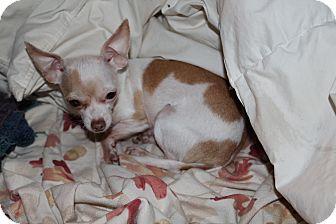 Chihuahua Dog for adoption in Dayton, Ohio - Priscilla