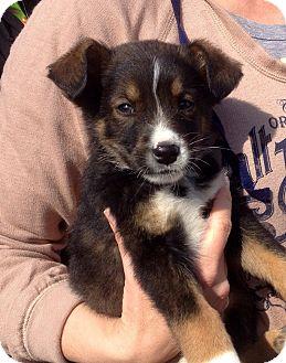 Australian Shepherd/Norwegian Buhund Mix Puppy for adoption in Hammonton, New Jersey - dinkers