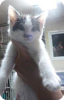 Domestic Mediumhair Kitten for adoption in Colorado Springs, Colorado - FM kitten 4.5