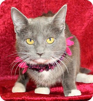 Domestic Shorthair Cat for adoption in Jackson, Michigan - Olivia