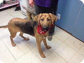 Hound (Unknown Type) Mix Puppy for adoption in Maryville, Illinois - Rok