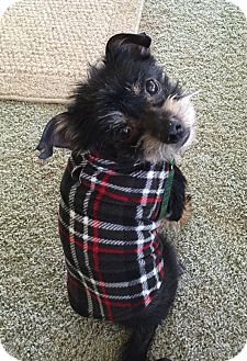 Yorkie, Yorkshire Terrier Mix Dog for adoption in Woodlyn, Pennsylvania - Shadow