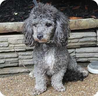 Poodle (Miniature) Dog for adoption in Pewaukee, Wisconsin - PEPPER - 11 lbs of love
