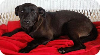 Labrador Retriever Mix Puppy for adoption in Cooperstown, New York - Sister