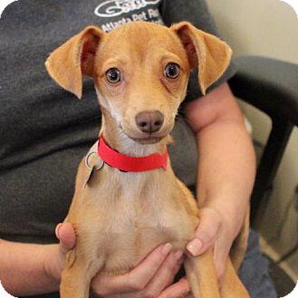 Chihuahua Dog for adoption in Atlanta, Georgia - Jules