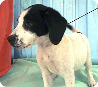 Labrador Retriever/Setter (Unknown Type) Mix Puppy for adoption in Maynardville, Tennessee - Bonnie