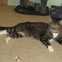 Domestic Shorthair Cat for adoption in Cedaredge, Colorado - Pepsi