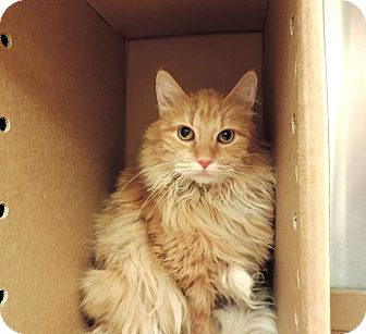 Domestic Longhair Cat for adoption in Sioux City, Iowa - LUCY