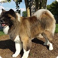 Adopt A Pet :: Keenu - Virginia Beach, VA