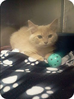 Domestic Shorthair Kitten for adoption in Muskegon, Michigan - fawn